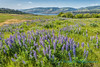 Lupines, overlooking the Columbia River