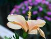 hibiscus_7980