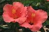 double hibiscus_4879