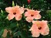 hibiscus7875