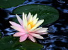 waterlily_4906