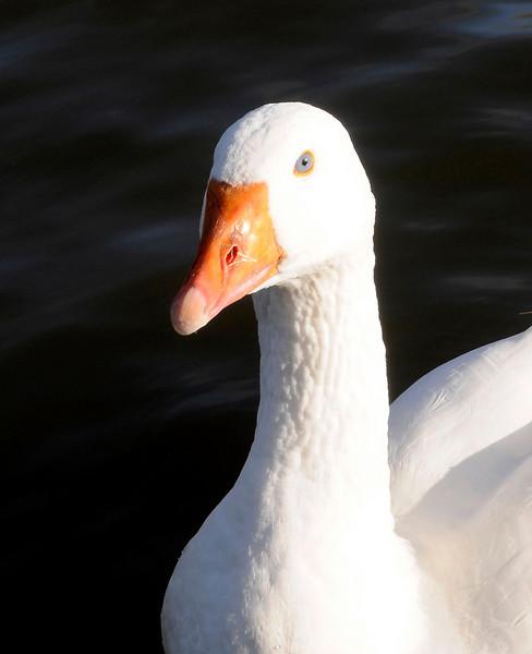 Goose - Thames, Oxford
