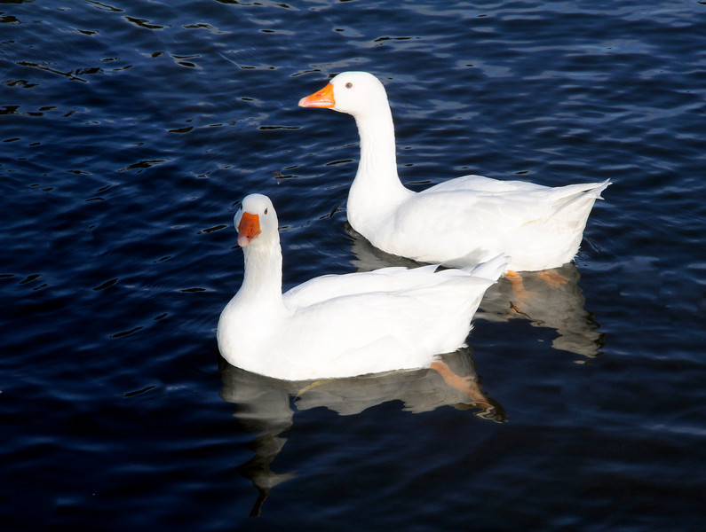 Poseur Goose!!!