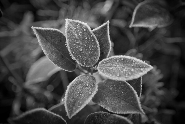 Ozette Trail Plants with Frost BW