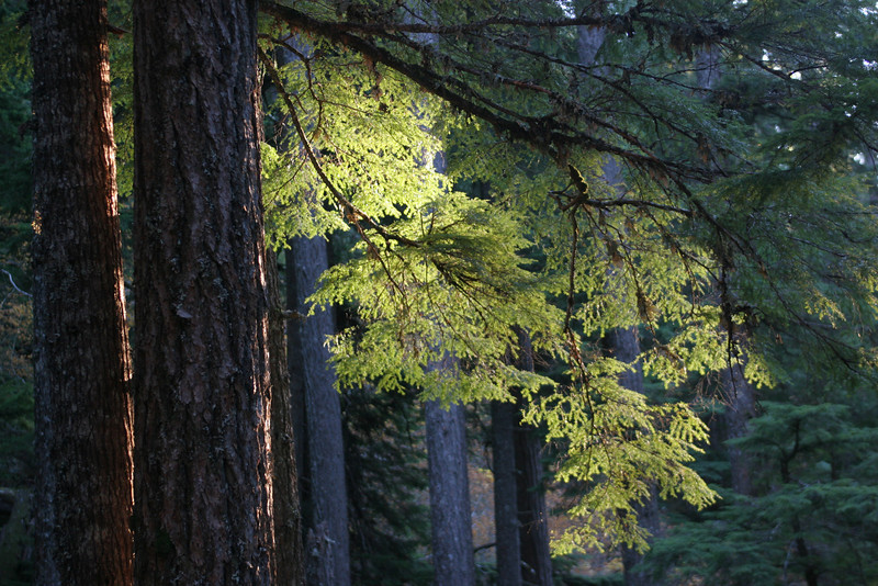 Sunlight through evergreen.