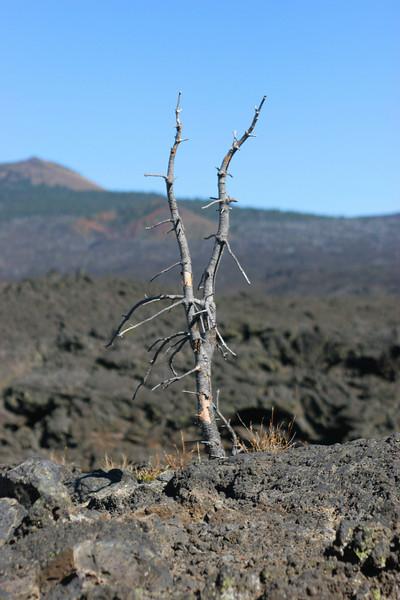 Tree versus lava rocks. Tree lost.