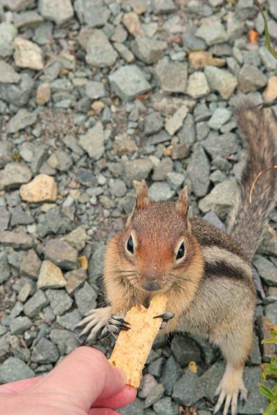 Viewpoint SE of Mt. St. Helens had especially trusting tree squirrels.