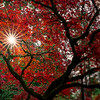 Japanese Maple at Jenkins Estate