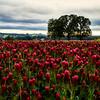 Crimson Clover fields in Hillsboro