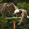 A rescued bald eagle goes after is treat.