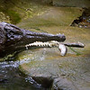 Here the other croc snaps up a fish or two tossed near the water's edge.