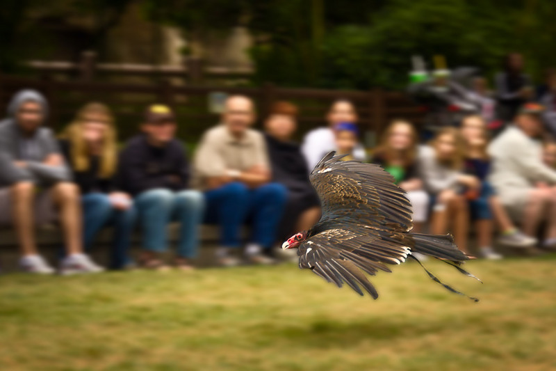"Turkey vulture in flight between the presentation stage and one of the perches set up out by the audience. <br><br><span class=""subcaption"">(Some processing to increase the background blur while leaving bird sharp.)</span>"