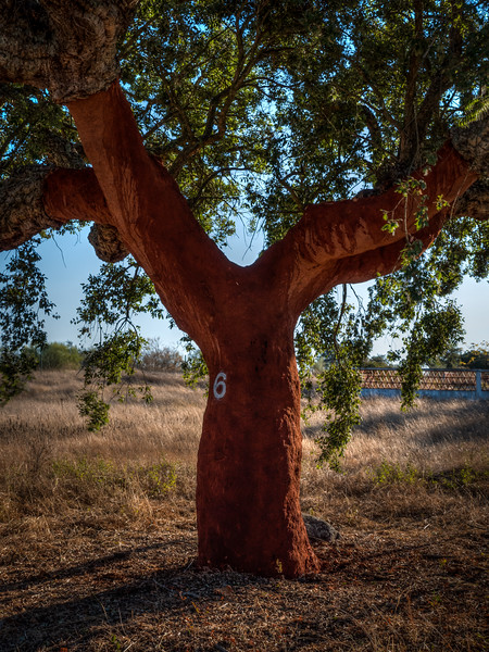 Cork oak tree after harvesting