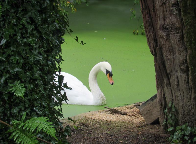 Swan in the gardens of Avedela Winery