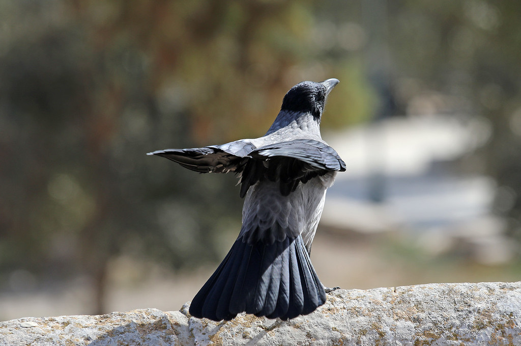 Bird Near Al-Aqsa Mosque, Jerusalem