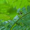 Leaf-mimicking katydid (Orophus tesselatus)