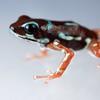 "Strawberry poison arrow frog (Oophaga pumilio) ""Uyama"" morph"