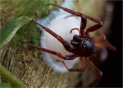 Spider tending to egg case
