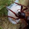 Spider tending to egg case