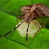 Mother shield bug (Antiteuchus sp.) guarding eggs