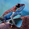 "Strawberry poison arrow frog (Oophaga pumilio) ""Valiente"" morph"