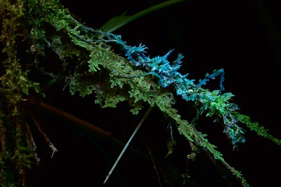 Mossy stick insect under UV light