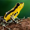 """Strawberry poison arrow frog (Oophaga pumilio) """"Robalo"""" morph Guarumo X Robalo hybrid"""