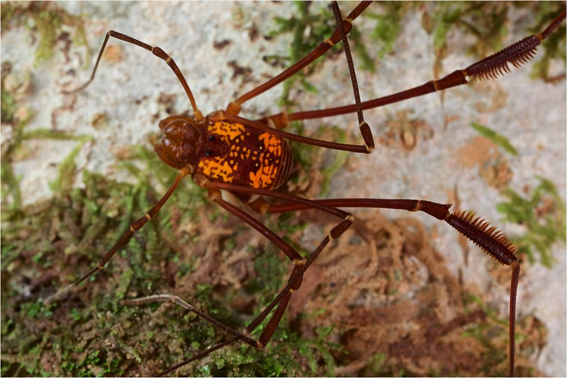 Cosmetid harvestman with orange dorsal markings