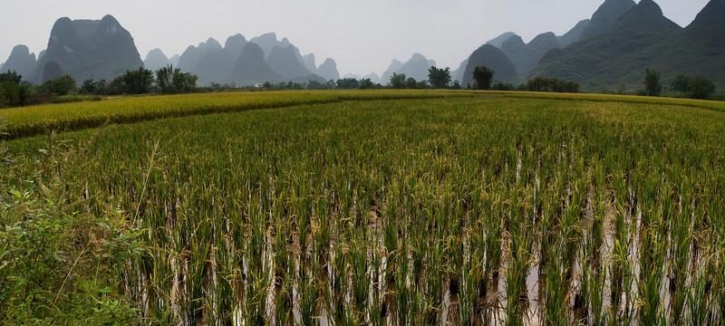 Rice, Yulong Valley, Guangxi