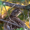 Ruffed Grouse hiding in a Balsam tree