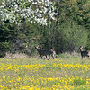 Three deer and three tree trunks and three thousand dandelions.