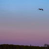 Sandhill crane heading home at dusk