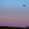 Sandhill crane heading home at dusk