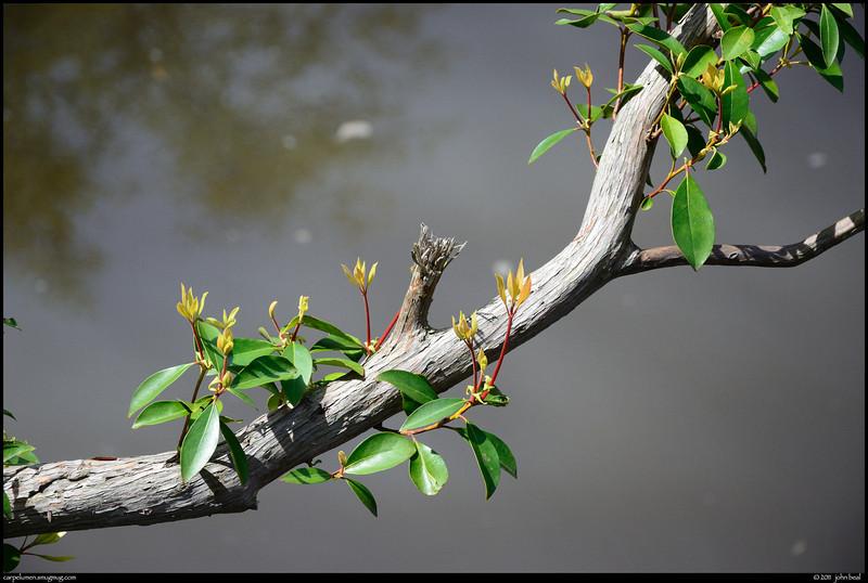 "(9Apr11)  new growth along sweetwater creek.  <a href=""http://carpelumen.smugmug.com/Photography/2010/April10/11696745_oPfad/2/831986518_oZV2w/Medium"">one year ago.</a>  f/8, 1/1000s, iso 800."