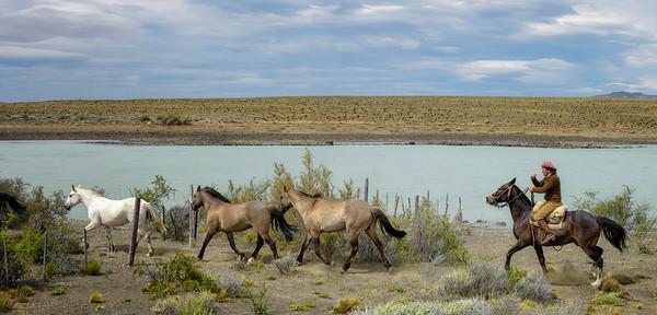 Gaucho Herding Horses