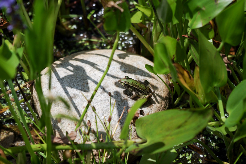 Northern Leopard Frog at the Patuxent Research Refuge, Maryland
