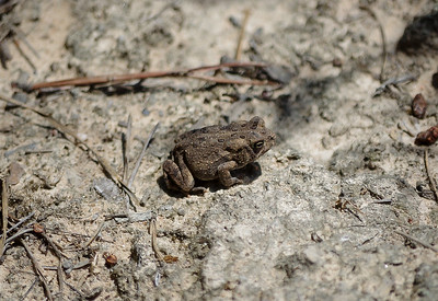 American Toad at Patuxent Research Refuge, Maryland