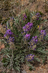 Vetch sp