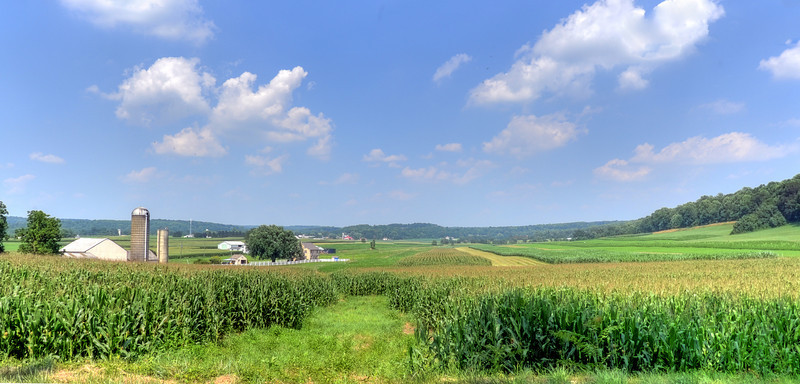 Summer corn in Buena Vista, PA.