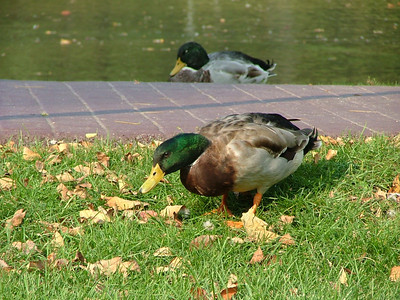 Yes, we have ducks.