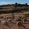 Alpakas at Sillustani