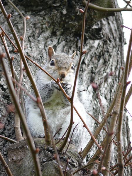 Perth Squirrel.<br /> 11th April 2008