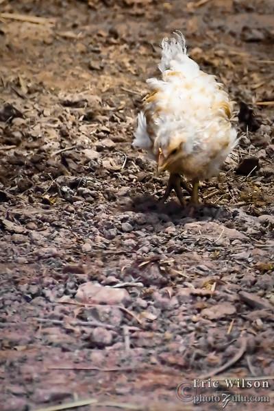 Hey look! A chicken.
