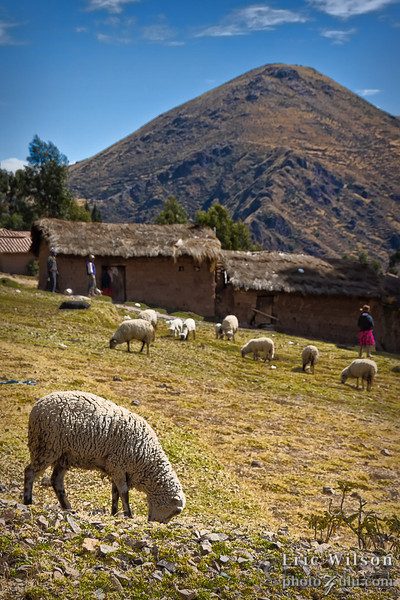 Sheep are a common food and material source.