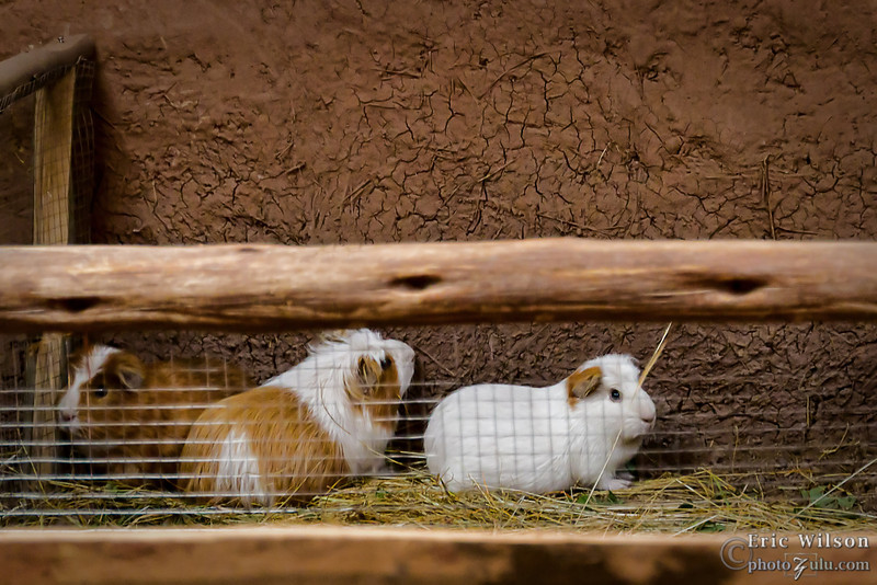 Guinea pigs, raised for food and resell.