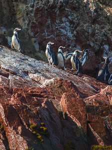 Penguins of Peru