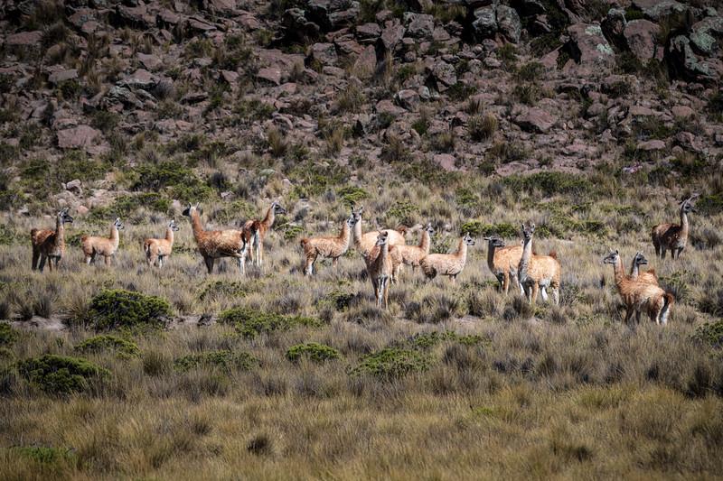 Colca Canyon - Vicuna herd-8680.jpg