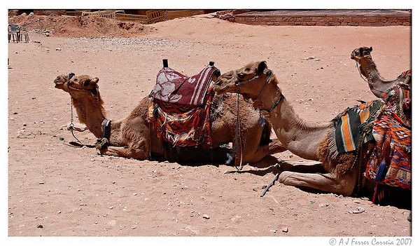 Petra, Jordan. Camels for turist transport near the Treasury.