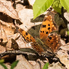 Eastern Comma, Phelps Wildlife Management Area, Remington, VA