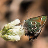 """Olive"" Juniper Hairstreak, Phelps Wildlife Management Area, Remington, VA"